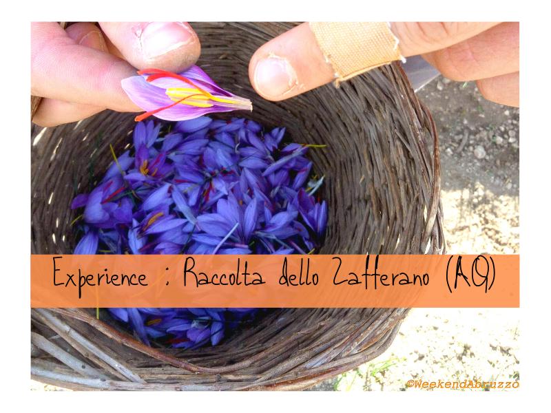Raccolta Dello Zafferano : Esperienza Da Fare In Abruzzo In Autunno